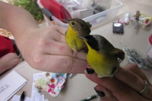 Female and Male Common yellowthroats