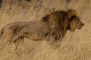 Poaching and farmers pose bigger th...