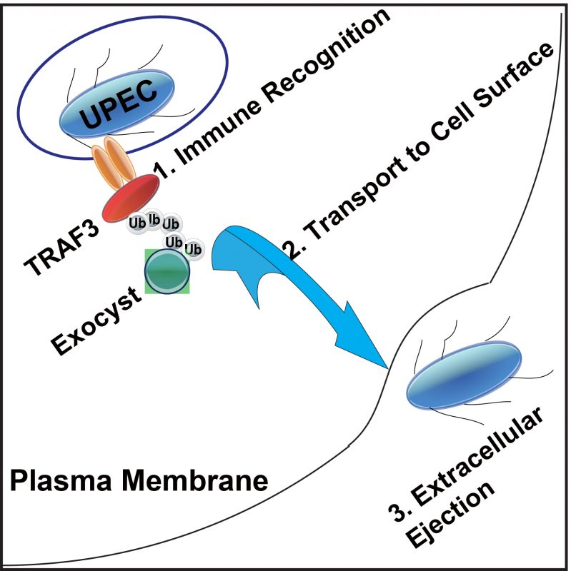 How the cell recognizes and clears UTI causing bacteria like uropathogenic Escherichia coli (UPEC).