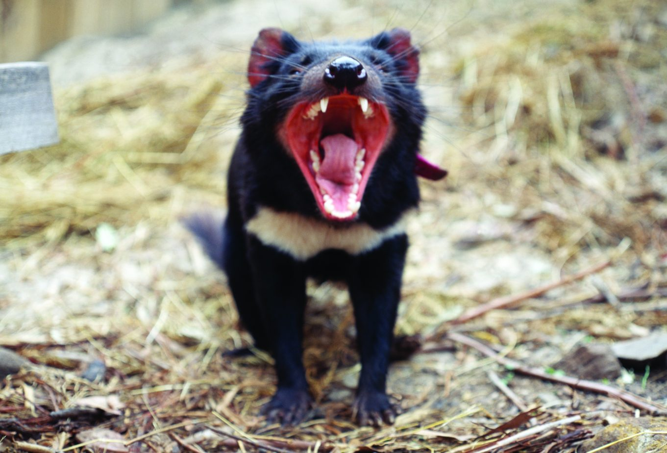 Tasmanian Devils Evolving Genetic Resistance to Cancer Threatening Species
