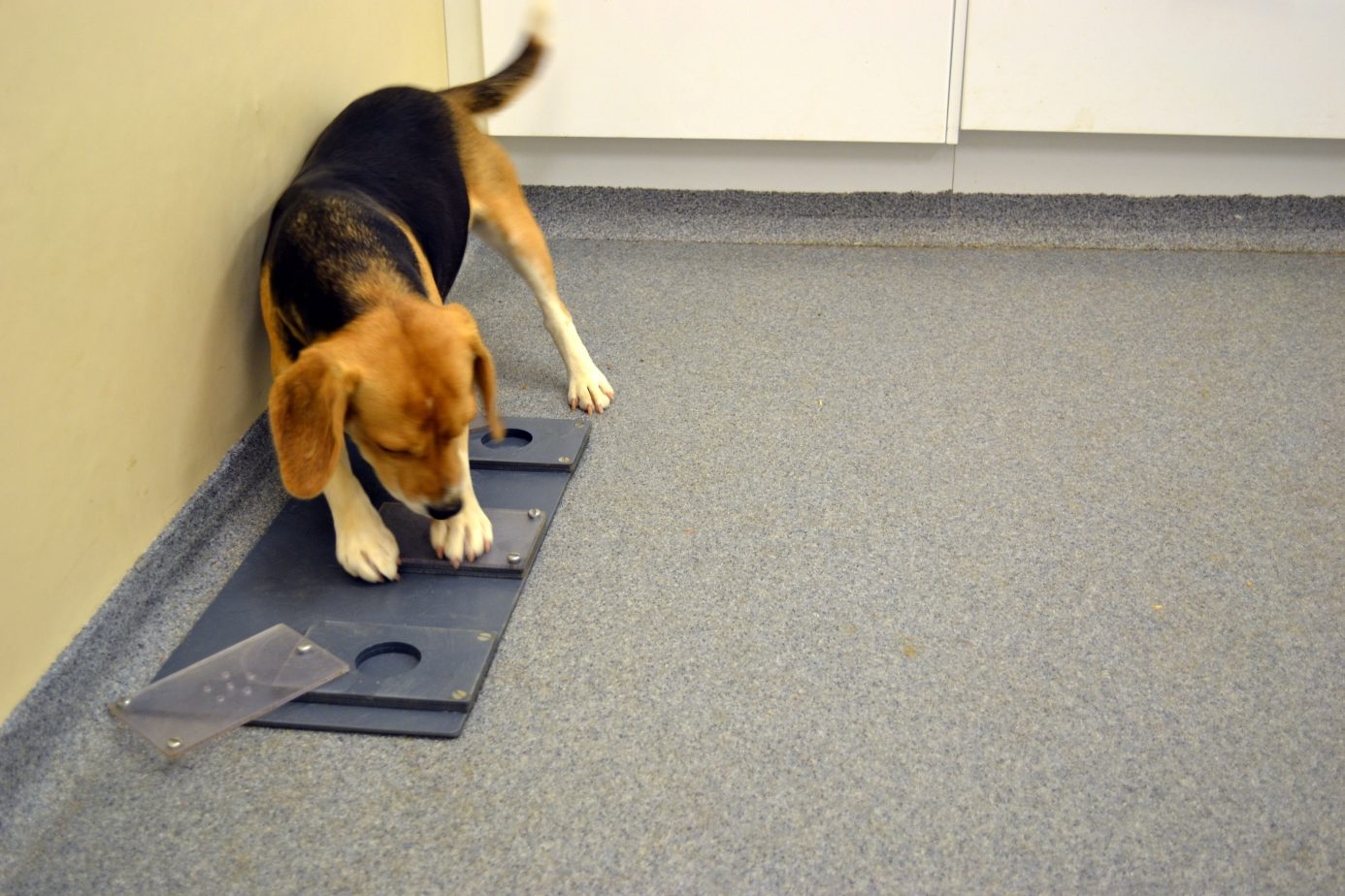 Beagle attempting to solve an unsolvable task Credit: Mia Persson