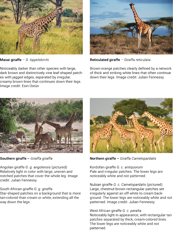 giraffe-captions