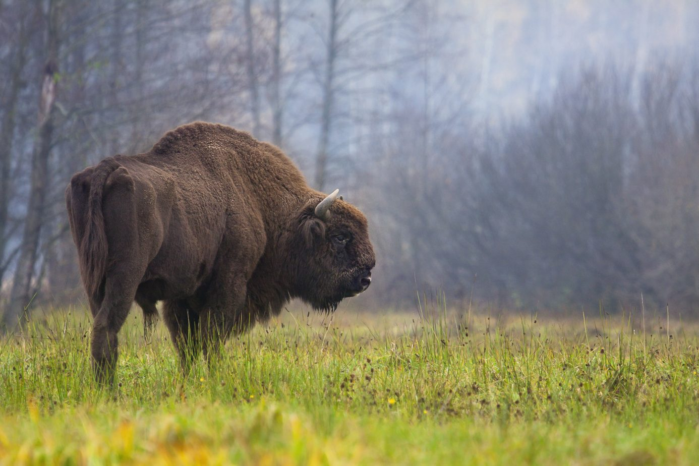 Modern European bison (or wisent - Bison bonasus) from the Białowieża Forest in Poland. Credit: Rafał Kowalczyk