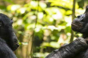 Old bonobos need reading glasses to...