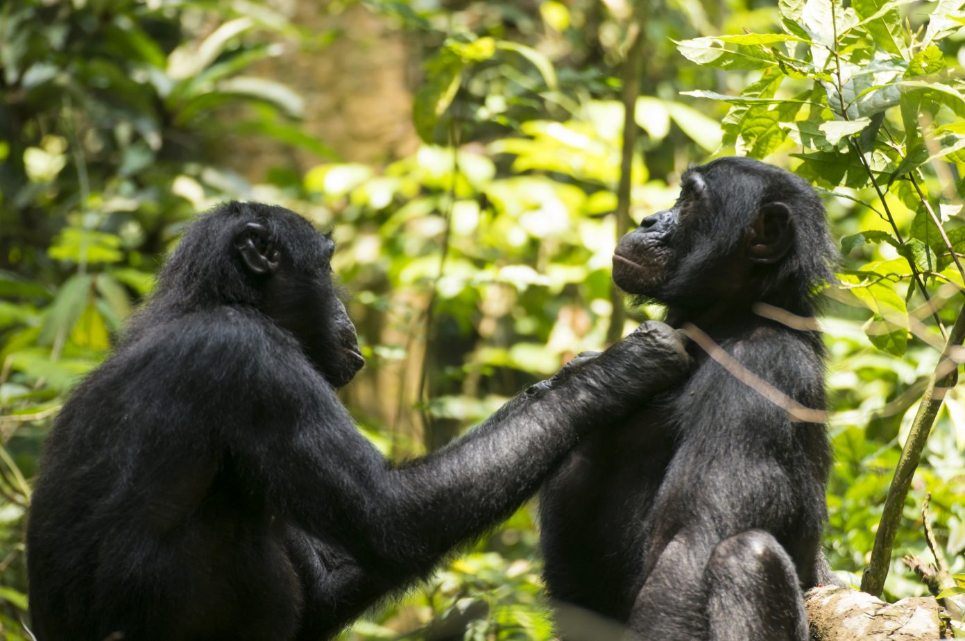 This photo shows ten (male: 45 years old) grooming JD (male: 21 years old). He is the oldest bonobo in E1 group at Wamba in the Luo Scientific Reserve, DR Cong. He needs 40 to 45 centimeters between his fingers to eyes to get pin-focus for grooming. Credit: Heungjin Ryu.