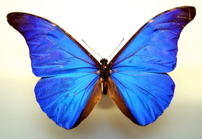 Morpho butterfly. Credit: Kevin Walsh