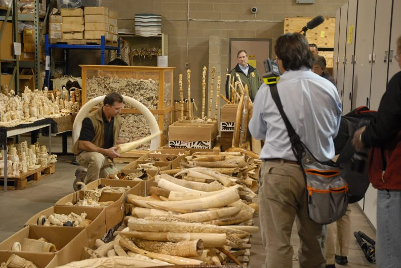 Ivory confiscated by law enforcement in the United States. Credit: Gavin Shire / USFWS