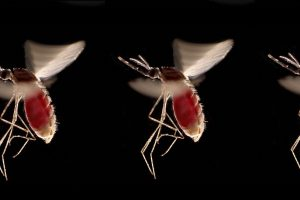 How mosquitoes fly, even though the...
