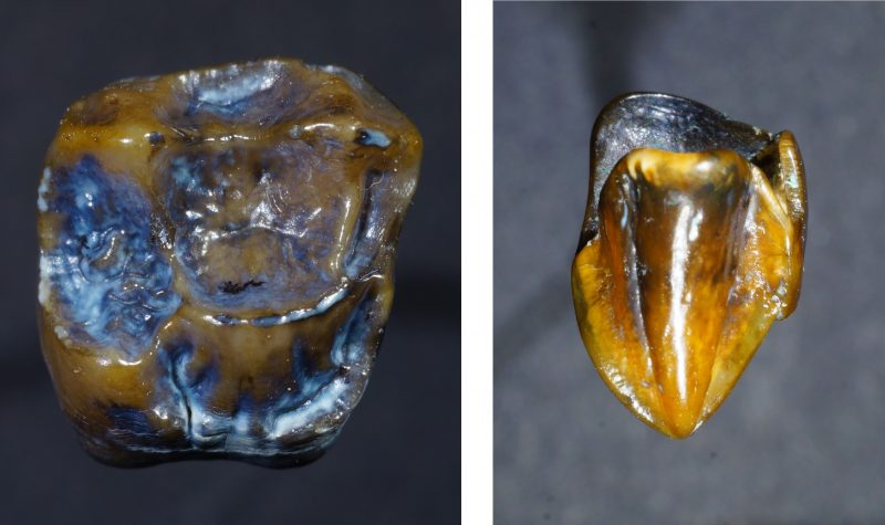 Prehistoric teeth fossils dating back 9.7 million years 'could rewrite human history'